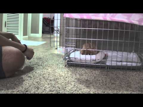 Crate traning - Chihuahua Puppy