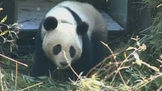 Cute giant panda gains weight after released into the wild