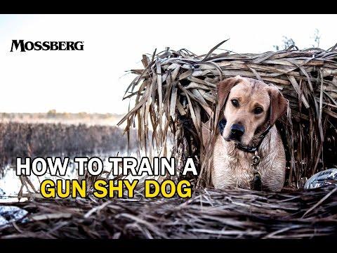 How To Train A Gun Shy Hunting Dog: Training A Labrador Retriever For Duck Hunting