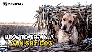 How To Train A Gun Shy Hunting Dog: Training A Labrador Retriever For Duck Hunting