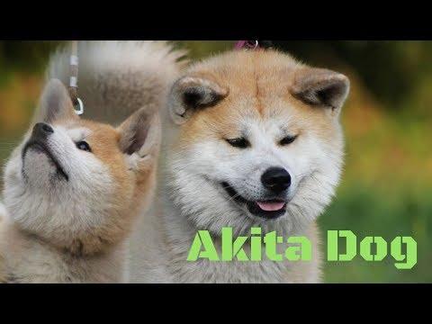 Akita dog breed// Dog Variety and Information
