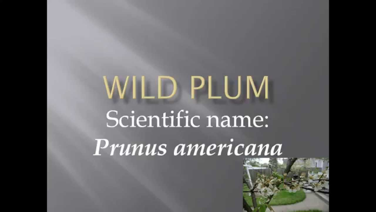 pronunciation picture and scientific name of fruit wild plum
