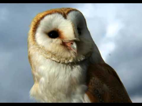 Barn Owl Facts - Facts About Barn Owls - YouTube