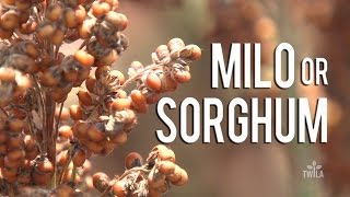 Ag Minute — What is Sorghum?