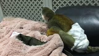Chico found new friend . Squirrel monkey