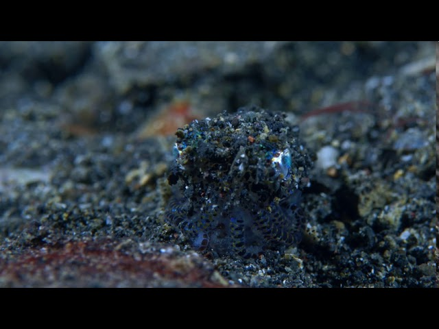 Take a Minute XIII: Berry's or hummingbird bobtail squid (Euprymna berry)