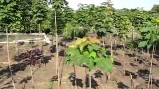 видео Клен. Уход, выращивание, размножение. Декоративно-лиственные. Деревья. Фото.
