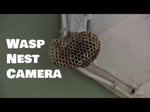 Camera in a Wasp Nest