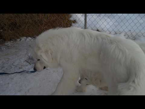 Great Pyrenees Mountain Dogs     2 pure white females      From Milk & Honey Farm