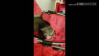 Russian Blue Playing in Babydoll Stroller ❤