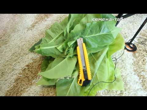 Вопрос: Как выращивать табак?