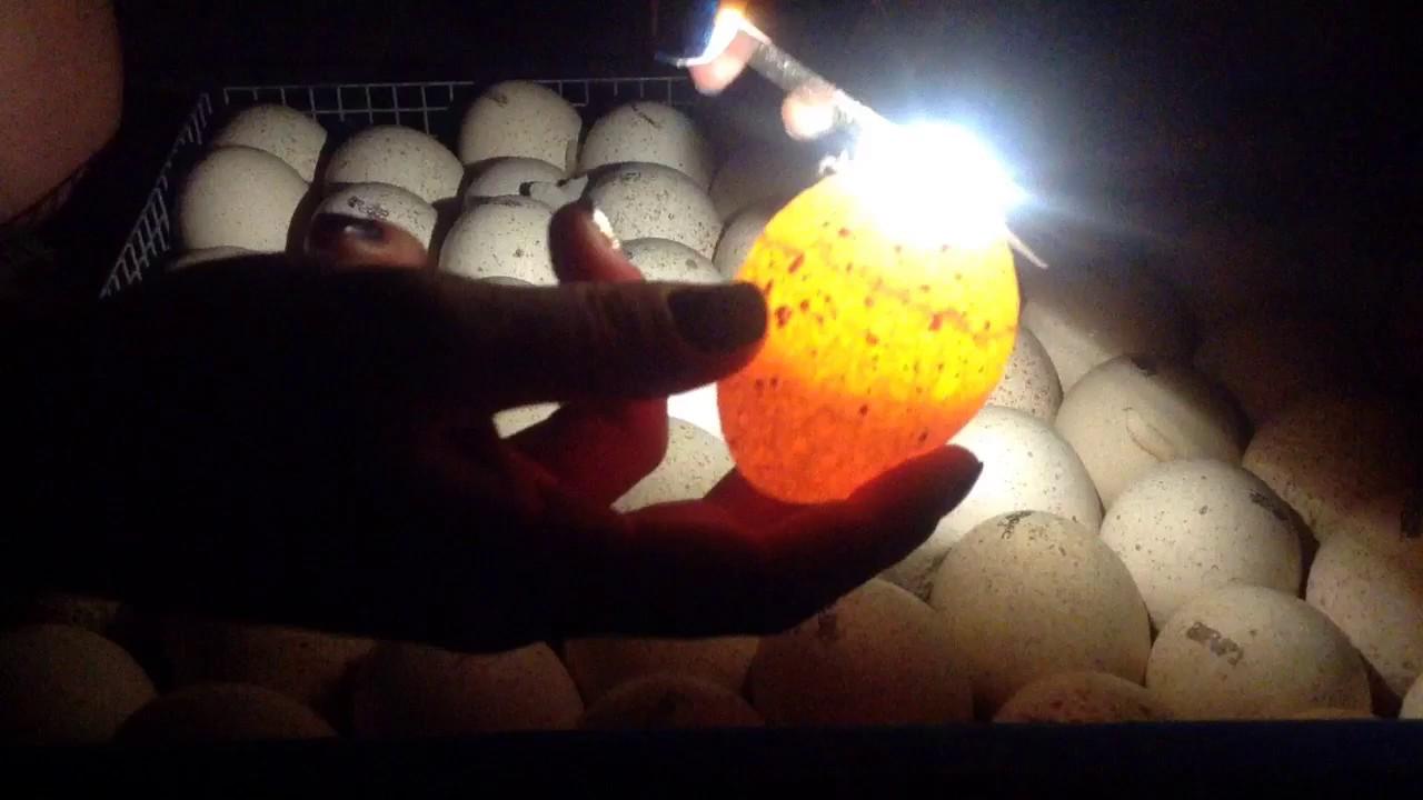 ночью, фотографии яиц гусей во время инкубации ключевых особенностей генераторов