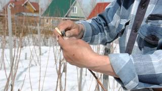 Мастер класс по  весенней прививке плодовых деревьев. Сайт sadovymir.ru