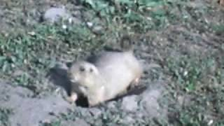 Barking Prairie Dog along the Boulder Creek Path