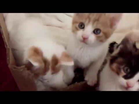 Klassy & Missy's Litters - Japanese Bobtail Kittens