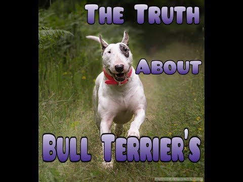 The truth about the Bull Terrier