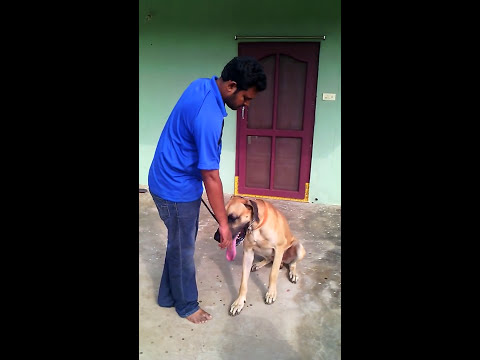 amazing great dane training you ever seen.