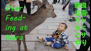 Deer Feeding in Nara Park 奈良公園でシカにエサやり Version 1