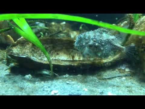 Adorable Lumpsucker Fish- He Swims Like A Bumblebee