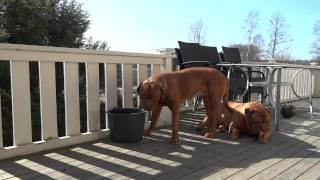 Dogue De Bordeaux Sophie Drinking Water & Drooling...!