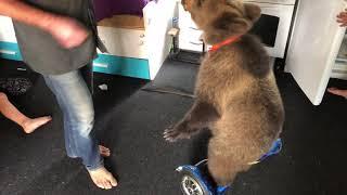 Медведь Том и гироскутер