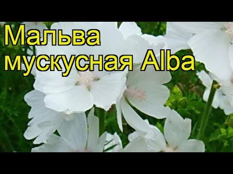 Мальва мускусная Алба. Краткий обзор, описание характеристик, где купить саженцы malva moschata Alba