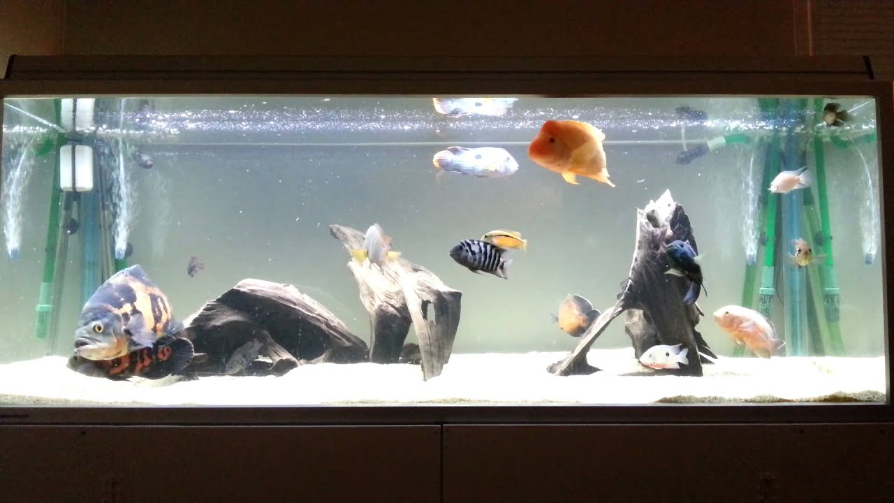 Oscar Cichlid Tank New Setup With Midas Cichlid Youtube