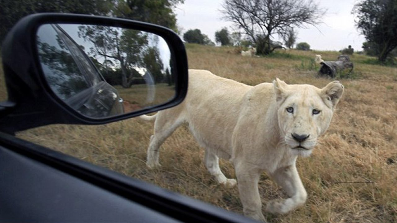 Man Attacked By Lion On Safari 109