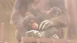 Download Video 東山チンパンジー 双子の赤ちゃん 49 Chimpanzee twin baby MP3 3GP MP4