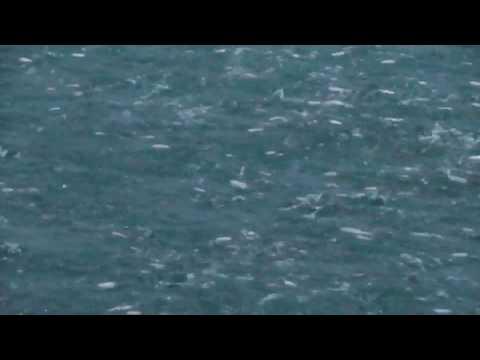 肉食魚に追われダンスを踊るように海面を飛び跳ねる小魚 ナブラとは? 海釣り用語 和歌山 釣太郎