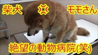 柴犬モモさん絶望の動物病院