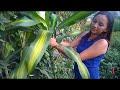 Cuidados y Reproducción TRONCO de BRASIL, PALO DE BRASIL, FRAGANS  2parte