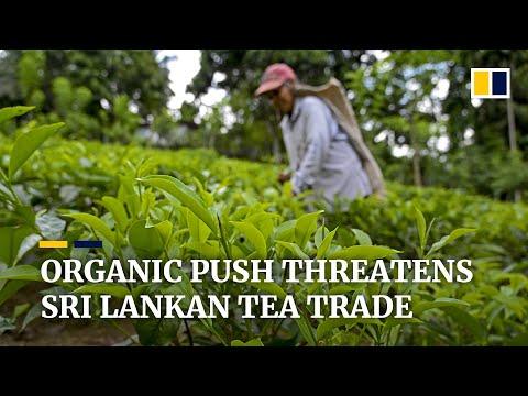 Download Sri Lanka's 'organic revolution' threatens country's prized tea industry