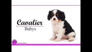 Cavalier King Charles Spaniel  Costa Rica Pink Poodle