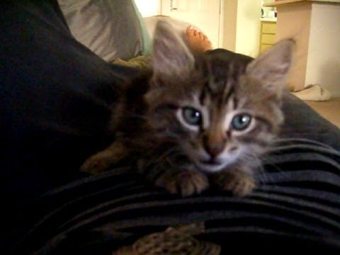 Cutest Maine Coon Kitten Meowing