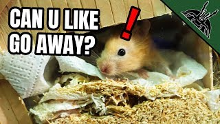 how-to-spy-on-your-hamster