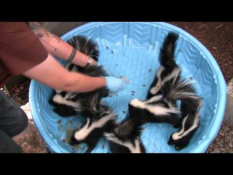Young skunks learn to hunt insects at WildCare