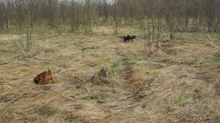 Щенки гриффона и пти-брабансона на прогулке. Апрель 2017г. Ч.2