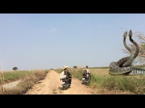Thumbnail: Two Brave Mans Catch big Snake-Two Man Catch Big Snake along the Road While Driving Motor