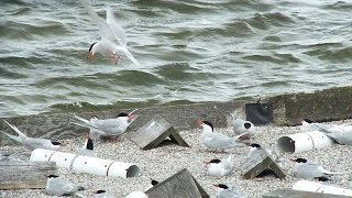Common Terns at Tommy Thompson Park - Toronto