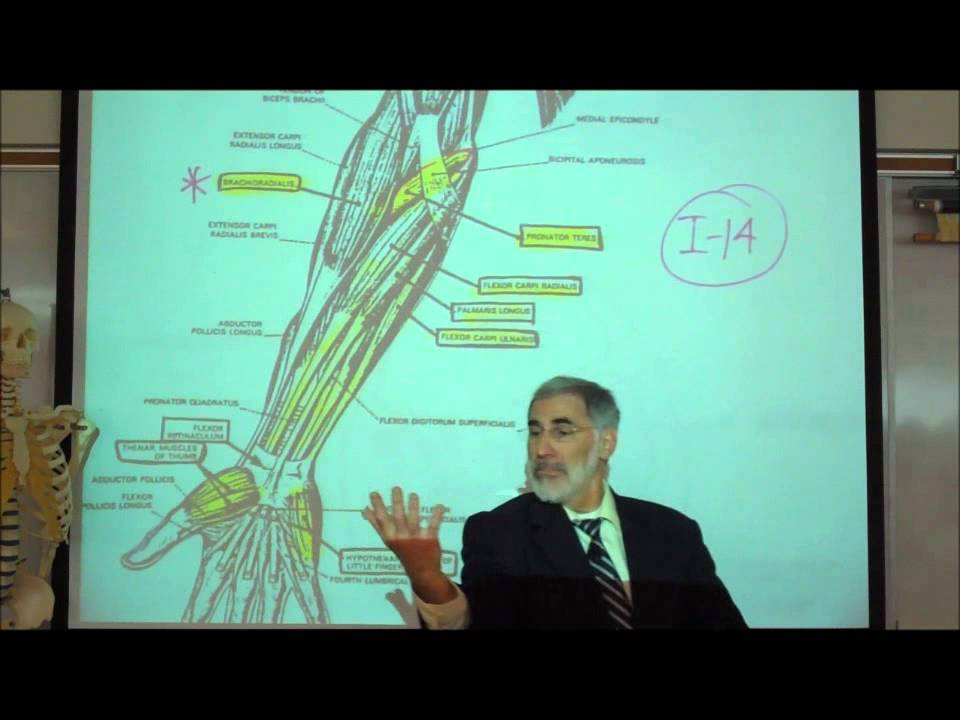 ANATOMY; MUSCLES THAT MOVE THE LOWER ARM & HANDS by Professor Fink ...