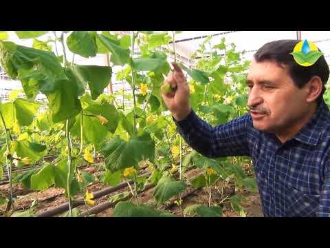 Лучший сорт огурца Полли. Особенности выращивания зимнего корнишона. | особенности | выращивания | корнишона | корнишон | зимнего | огурца | огурец | лучший | зимний | выращи