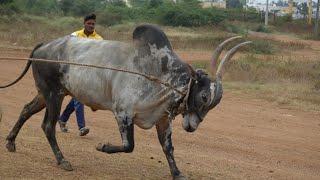 Furious RNR Huli running and Swimming work, Devva Mariyappa ranebennur hori habba Jallikattu