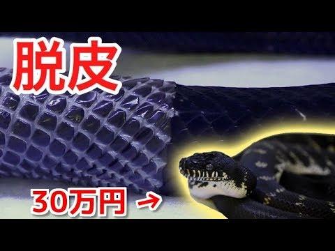 30万円のヘビ!ベーレンパイソンの脱皮シーン!