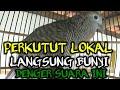 Perkutut Lokal Pancingan Perkutut Macet Bunyi Perkutut Lokal Gacor Suara Burung Perkutut Lokal  Mp3 - Mp4 Download