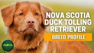 Nova Scotia Duck Tolling Retriever   The Alluring Dog of the Hunters