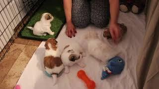 Coton Puppies For Sale - Jolie 7/28/20