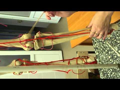 АНАТОМИЯ! Артерии нижней конечности ( Бедренная артерия )
