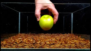 Mealworms eating green apple, peppers and lettuce - 10.000 worms!