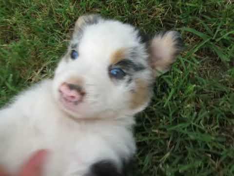 Corri's Puppies at www.fifteenacrefarms.com ... Part 1